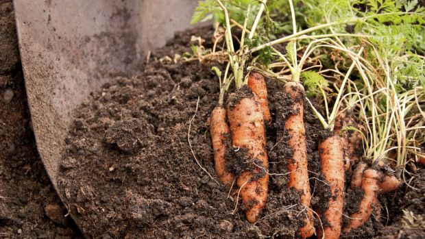 Dig in: growing good carrots is the test of a good gardener.