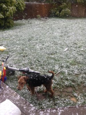 Snow falls on a dog in a backyard near Ballarat.